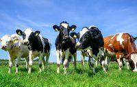 Gruppe Rinder auf einer Sommerweide