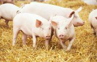 piglets on hay and straw at pig breeding farm